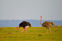 """Ostrich Common"", ""Serengeti National Park"", ""Struthio camelus"", Tanzania"