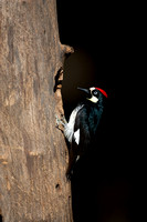 Woodpecker_Acorn_MR8D5059