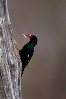 Wood-hoopoe_G_Z2F3683