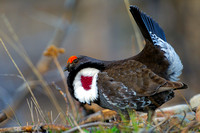Grouse_Dusky_Z2F0545