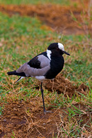 "Blacksmith, Kenya, ""Lake Nakuru National Park"", Plover, ""Vanellus armatus"""