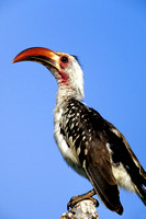 Hornbill, Red-billed