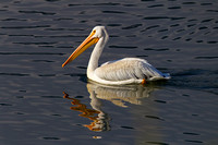 """Grand Teton National Park"", ""Pelecanus erythrorhynchos"", ""Pelican American White"", Wyoming"