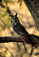 Owl_Long-eared_SCN001