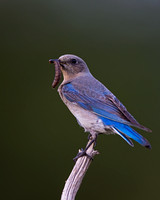 """Bluebird Mountain"", Female, ""Sialia currucoides"", ""Wapiti Valley"", Wyoming"