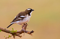 Sparrow-weaver, White-browed