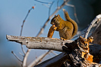 Squirrel_Am_Red_A45T7122