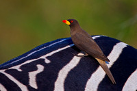 Oxpecker, Yellow-billed