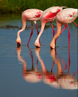 "Flamingo, Kenya, ""Lake Nakuru National Park"", Lesser, ""Phoenicopterus minor"""