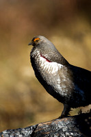 Grouse_Blue_R8D3013