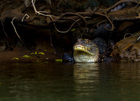 Caiman, Spectacled