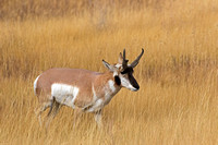 "Antelope, ""Antilocapra americana"", Buck, ""Grand Teton National Park"", Pronghorn, Wyoming"