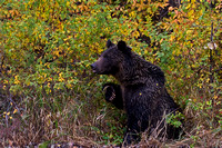 "Bear, Grizzly, ""Shoshone National Forest"", ""Ursus arctos horribilis"", Wyoming"