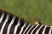 """Buphagus erythrorhynchus"", Kenya, ""Masai Mara National Reserve"", Oxpecker, Red-billed"
