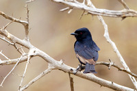 Drongo, Fork-tailed