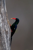 Wood-hoopoe_G_Z2F3595