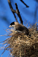 Weaver, Black-capped Social