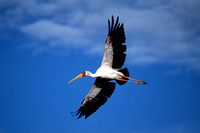 Stork, Yellow-billed