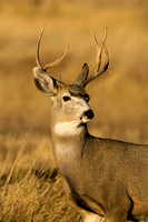 Deer, White-tailed