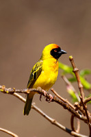 Weaver, Southern Masked