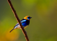 Tanager, Golden-hooded