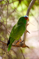 Parrot, White-fronted