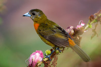 Tanager_Ch_D4B6278