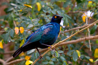 Starling, Cape Glossy