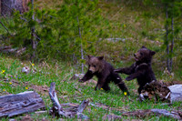 "Bear, Cub, Grizzly, ""Ursus arctos horribilis"", Wyoming, ""Yellowstone National Park"""