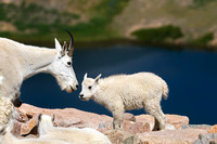 """Beartooth Highway"", ""Mountain Goat"", ""Oreamnos americanus"", ""Shoshone National Forest"", Wyoming"