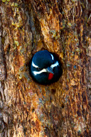 Sapsucker_Will_MG_5013