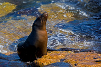 "Ecuador, ""Galápagos Islands"", ""North Seymour Island"", ""Sea Lion, Galápagos"", ""Zalophus wollebaeki"""