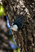 Nuthatch_W-B_MR8D5796
