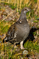 Grouse_Blue_R8D6416