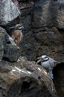 "Ecuador, ""Galápagos Islands"", ""Night-heron, Yellow-crowned"", ""Nyctanassa violacea"", ""Puerto Egas"", ""Santiago Island"""