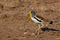 "Botswana, ""Chobe National Park"", ""Chobe River"", Lapwing, ""Vanellus albiceps"", White-crowned"