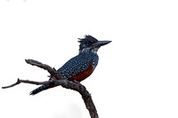Kingfisher, Giant