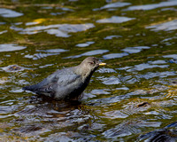 """Cinclus mexicanus"", ""Dipper American"", Wyoming, ""Yellowstone National Park"""