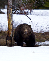 "Bear, Grizzly, ""Ursus arctos horribilis"", Wyoming, ""Yellowstone National Park"""