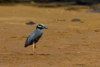 "Ecuador, ""Floreana Island"", ""Galápagos Islands"", ""Night-heron, Yellow-crowned"", ""Nyctanassa violacea"", ""Punta Cormorant"""