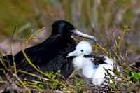 "Ecuador, ""Fregata minor"", ""Frigatebird, Great"", ""Galápagos Islands"", ""North Seymour Island"""