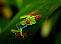 Treefrog, Red-eyed