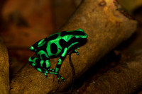Frog, Green and Black Poison Dart