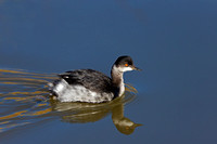 """Bosque del Apache National Wildlife Refuge"", ""Grebe Eared"", ""New Mexico"", Nonbreeding, ""Podiceps nigricollis"""