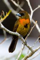 Tanager_Ch_D4B6262