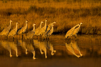 """Bosque del Apache National Wildlife Refuge"", ""Crane Sandhill"", ""Grus canadensis"", ""New Mexico"""