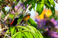 Tanager_Ch_D4B6362