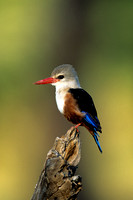 Kingfisher, Grey-headed