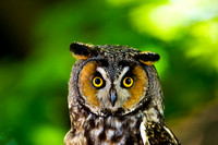 Owl_LEared_D4B0342