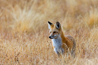 """Fox Red"", ""Vulpes vulpes"", Wyoming, ""Yellowstone National Park"""